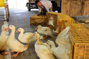 Experts call for detailed H7N9 rules