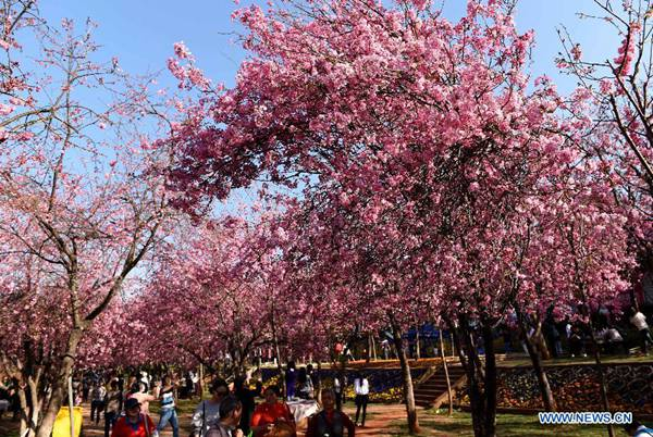 Visitors enjoy cherry blossom in a park in SW China's Yunnan