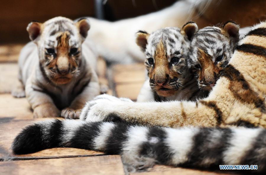 Siberian tiger cubs in NE China