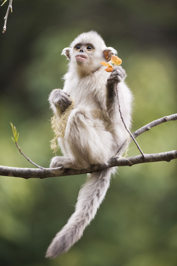 An ecological photographer's works on golden snub-nosed monkeys