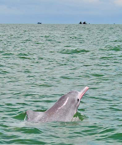 Plight of dolphins major issue amid city expansion
