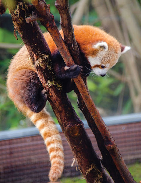 Red panda gets a name, at last