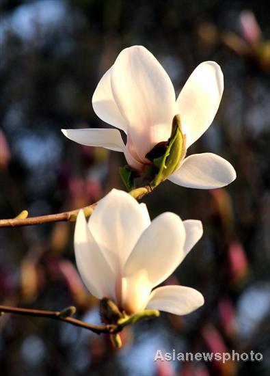 Magnolia flowers bloom in spring mightylinksfo