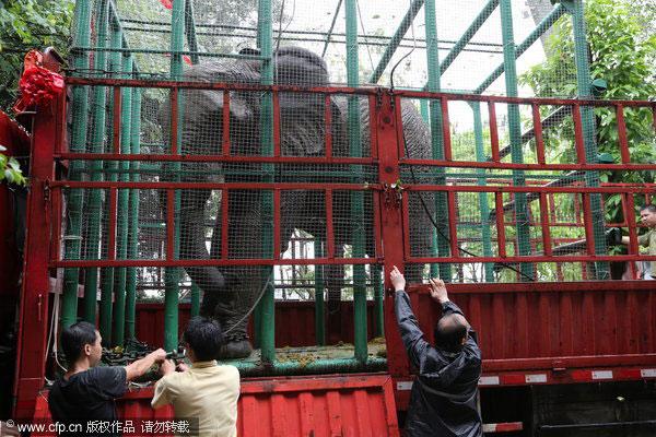 Female African Bush elephant Zhou Zhou (Zhouzhou) at Beijing Zoo