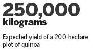 Supergrain quinoa thrives on plateau