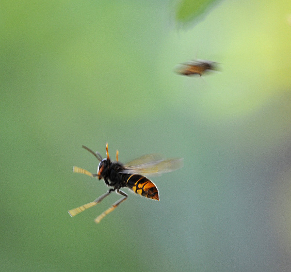 The war between wild bees and wasps|Odd|chinadaily.com.cn