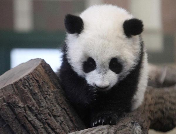 Come And Meet Vienna Panda Cub
