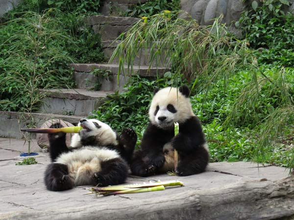 No pandas affected in Sichuan quake