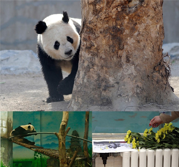 Death of panda leaves many questions unanswered